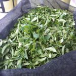 #Healthandtea Fresh Tea Leaves