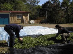 Weathering of freshly harvested tea leaves